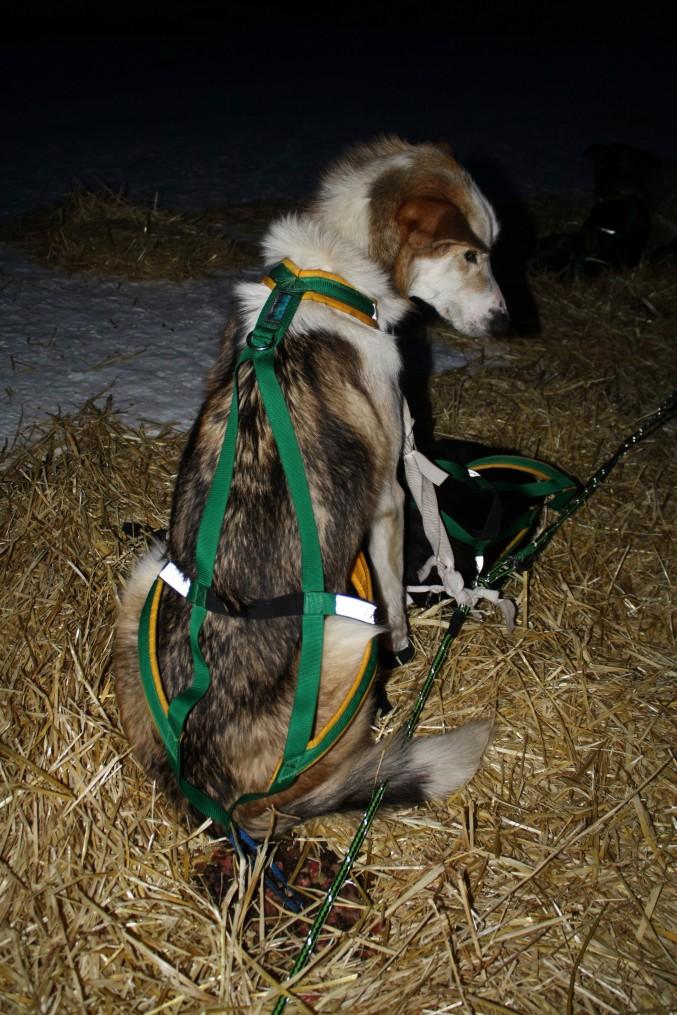 H Back 677x1015 zoom lens chukchi dogs use half harness iditarod